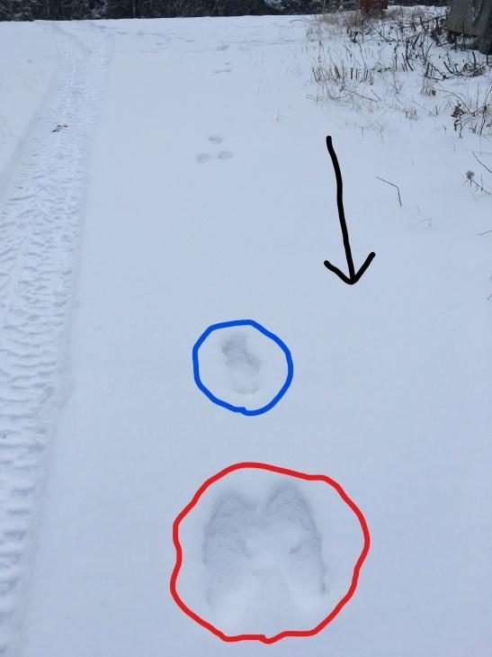 雪の上の足跡 ~ アカギツネ、かんじきウサギ_b0135948_13393184.jpg