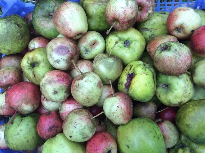 新月の夕方は、リンゴの収穫_b0110999_05075725.jpeg