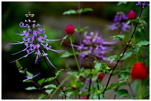 秋の紫な花_a0134114_20135802.jpg