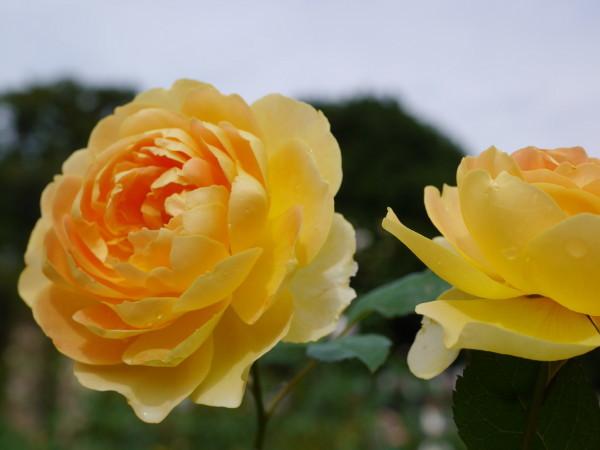 秋の花に誘われて・・横浜山手_e0414858_21525120.jpg