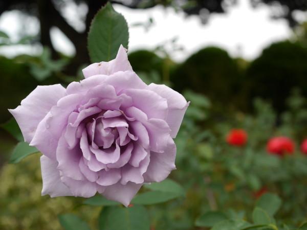 秋の花に誘われて・・横浜山手_e0414858_21530835.jpg