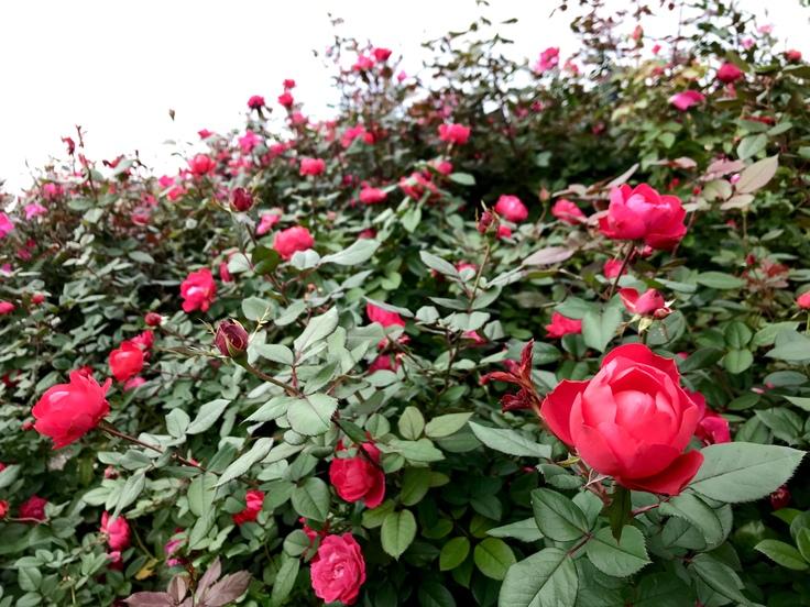 山下公園の赤いバラ_c0212604_741186.jpg
