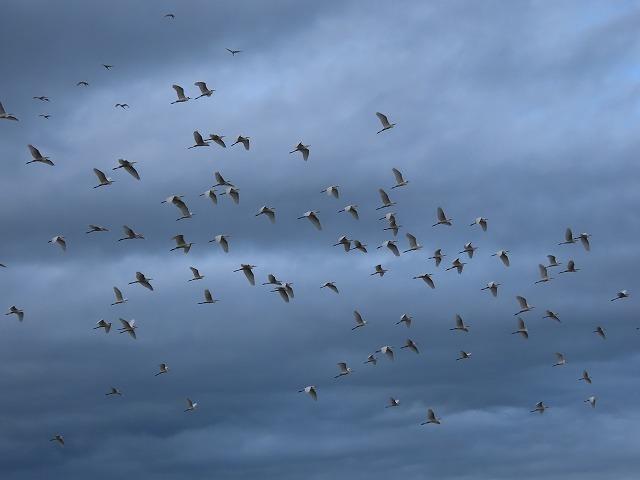 サギの群れに出会う(その2)(撮影:10月16日)_e0321325_19332308.jpg