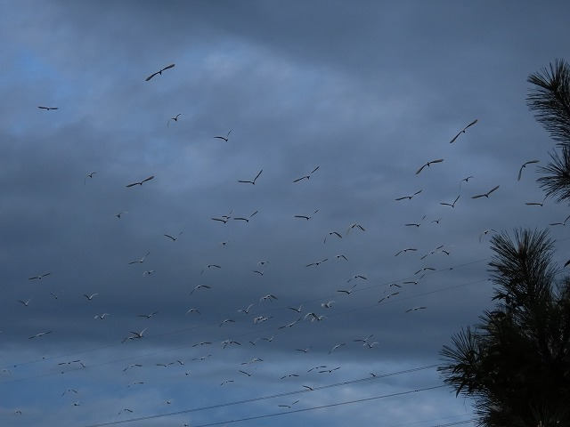 サギの群れに出会う(その2)(撮影:10月16日)_e0321325_19344272.jpg