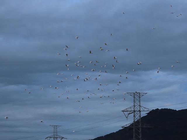 サギの群れに出会う(その2)(撮影:10月16日)_e0321325_19350447.jpg