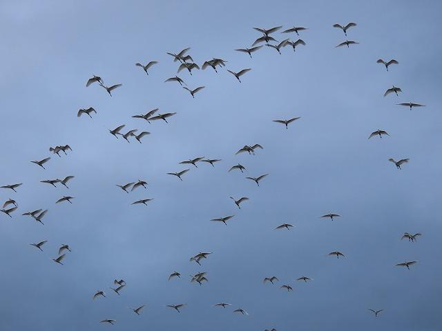 サギの群れに出会う(その2)(撮影:10月16日)_e0321325_19351513.jpg