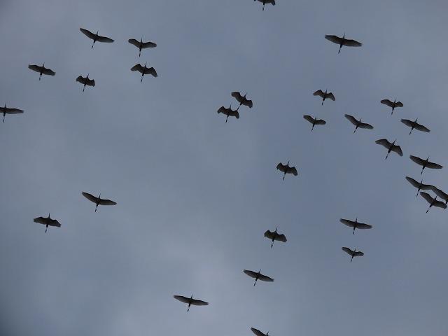 サギの群れに出会う(その2)(撮影:10月16日)_e0321325_19355693.jpg