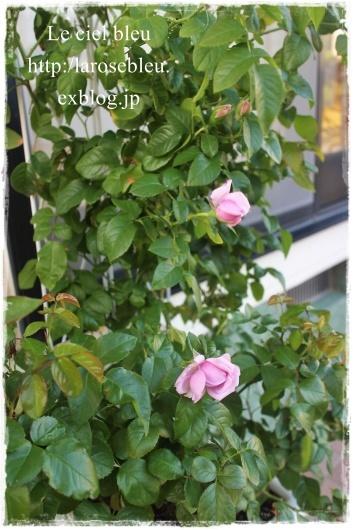 秋の'ル・シエル・ブルー'もうすぐ咲くかな_f0338156_21590893.jpg