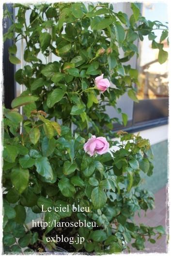 秋の'ル・シエル・ブルー'もうすぐ咲くかな_f0338156_21592104.jpg