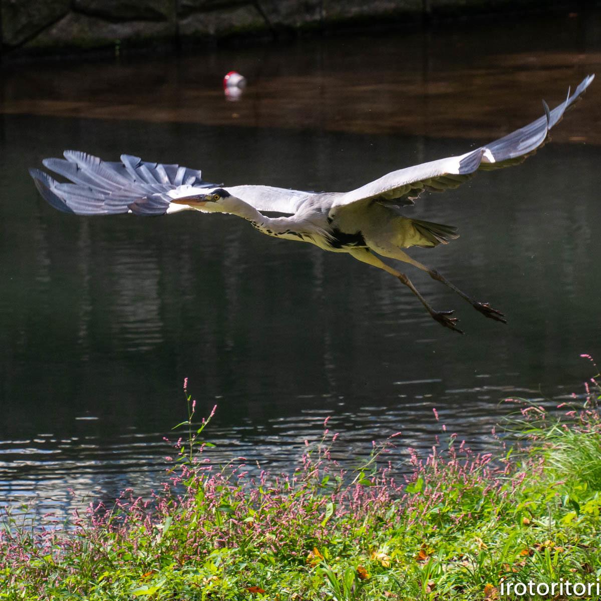 飛びます!!  (アオサギ )  2020/10/23_d0146592_00301503.jpg