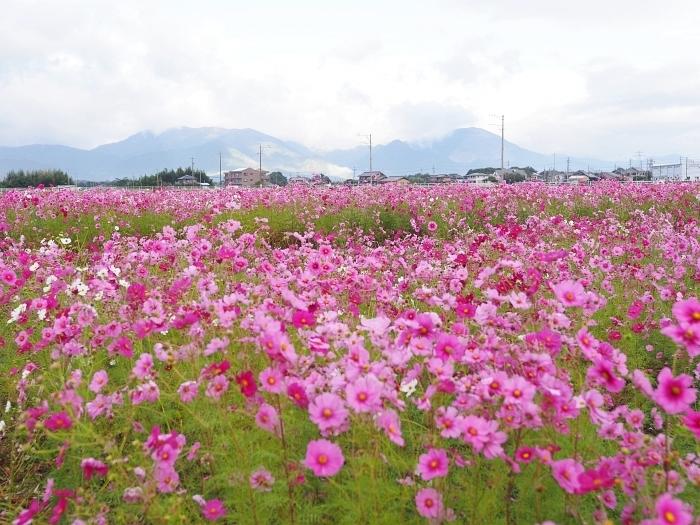東員町のコスモス 2020_e0075403_17151970.jpg