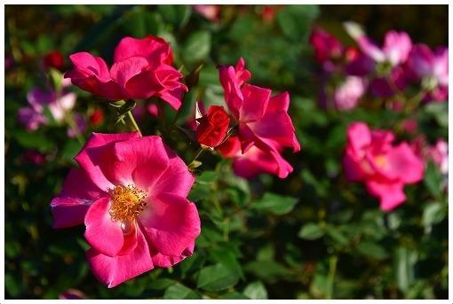 イギリス式庭園でバラを愛でる_a0134114_13521440.jpg