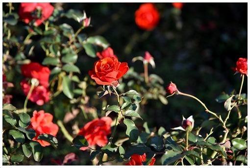 イギリス式庭園でバラを愛でる_a0134114_13522599.jpg