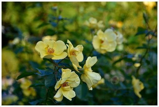 イギリス式庭園でバラを愛でる_a0134114_13525485.jpg