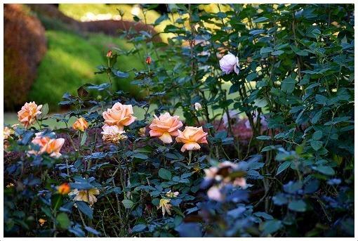 イギリス式庭園でバラを愛でる_a0134114_13530661.jpg
