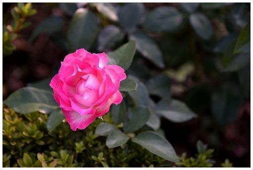 イギリス式庭園でバラを愛でる_a0134114_13531900.jpg