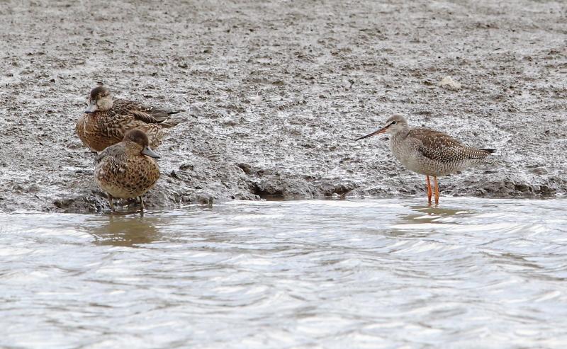 沼のツルシギと周りの水鳥_e0385660_21532169.jpg
