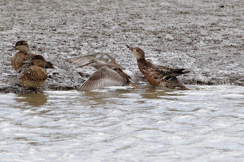 沼のツルシギと周りの水鳥_e0385660_21535245.jpg
