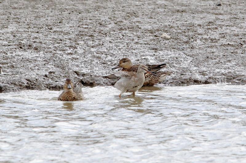 沼のツルシギと周りの水鳥_e0385660_21555977.jpg