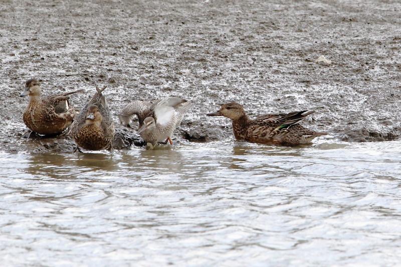 沼のツルシギと周りの水鳥_e0385660_22011954.jpg