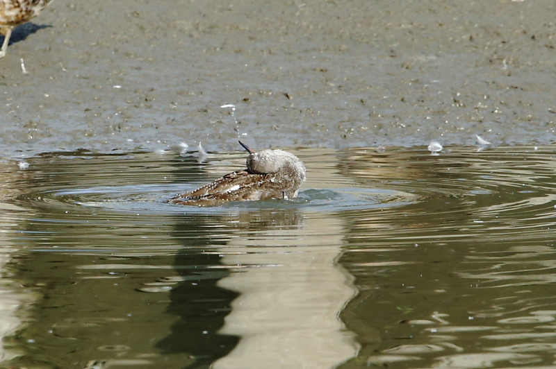 沼でツルシギが水浴び_e0385660_22100282.jpg