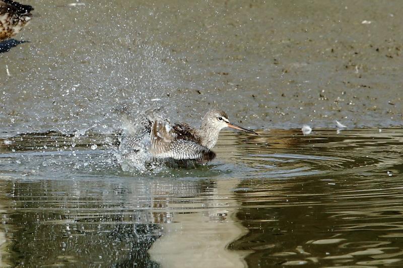 沼でツルシギが水浴び_e0385660_22102916.jpg