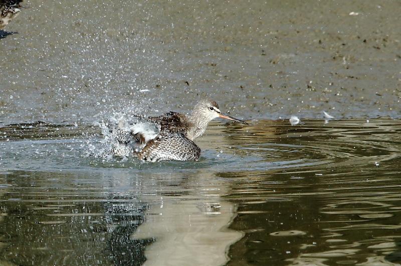 沼でツルシギが水浴び_e0385660_22105706.jpg