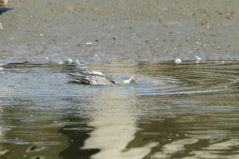 沼でツルシギが水浴び_e0385660_22112701.jpg