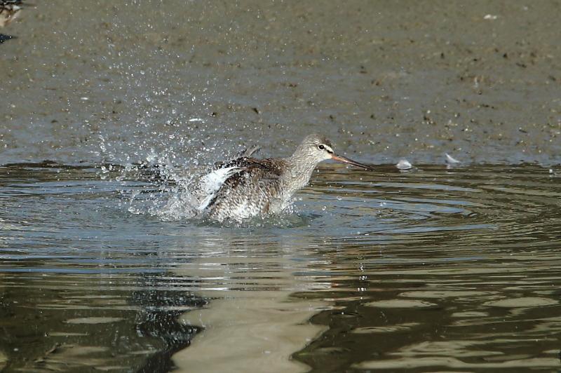 沼でツルシギが水浴び_e0385660_22125599.jpg