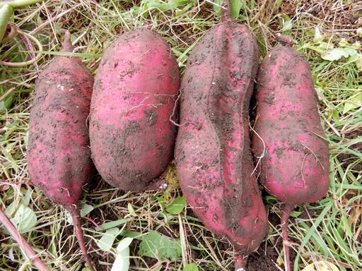 自然農の畑 10月中旬~下旬_d0366590_12541496.jpg
