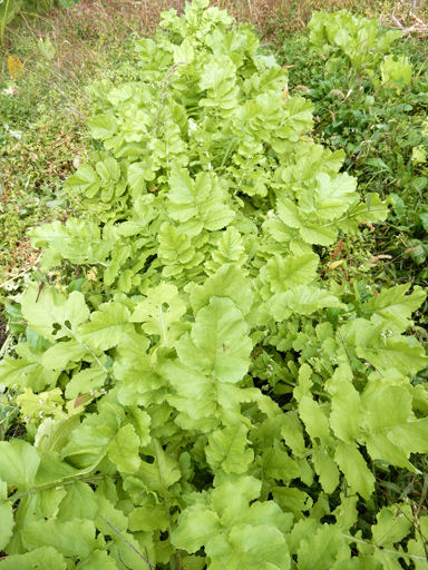自然農の畑 10月中旬~下旬_d0366590_13093634.jpg