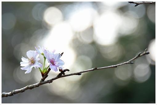 10月桜_a0134114_21130906.jpg