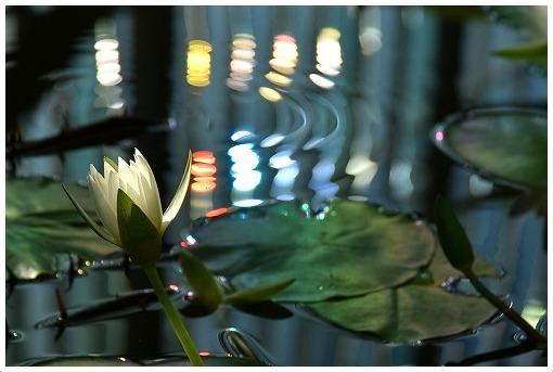 夜に咲く睡蓮_a0134114_21163388.jpg