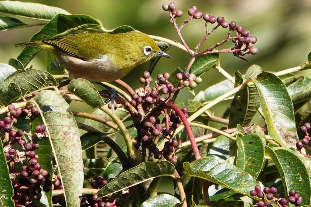 野鳥トレ 228  藍那、森林、藍那三連荘_b0227552_19402548.jpg