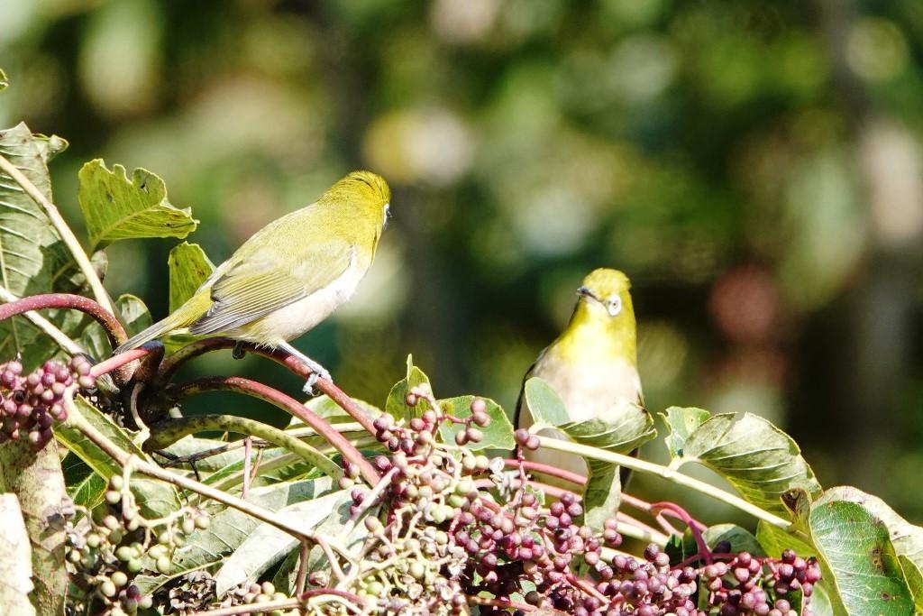 野鳥トレ 228  藍那、森林、藍那三連荘_b0227552_19403610.jpg