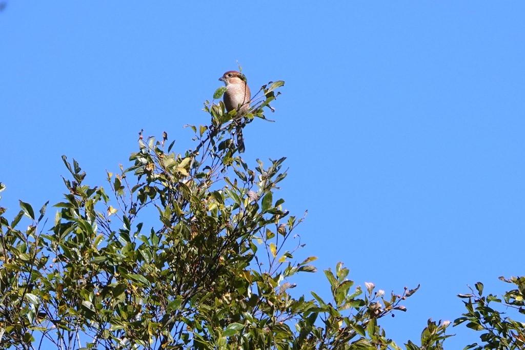 野鳥トレ 228  藍那、森林、藍那三連荘_b0227552_19411446.jpg