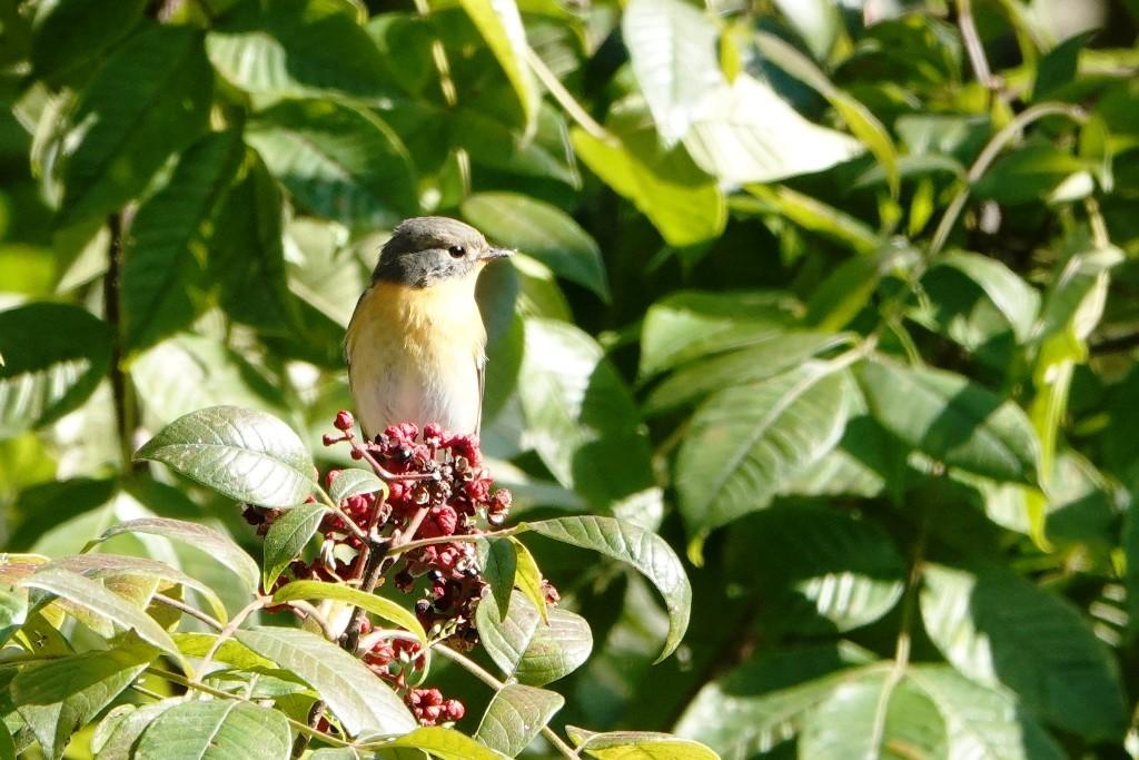 野鳥トレ 228  藍那、森林、藍那三連荘_b0227552_19414662.jpg