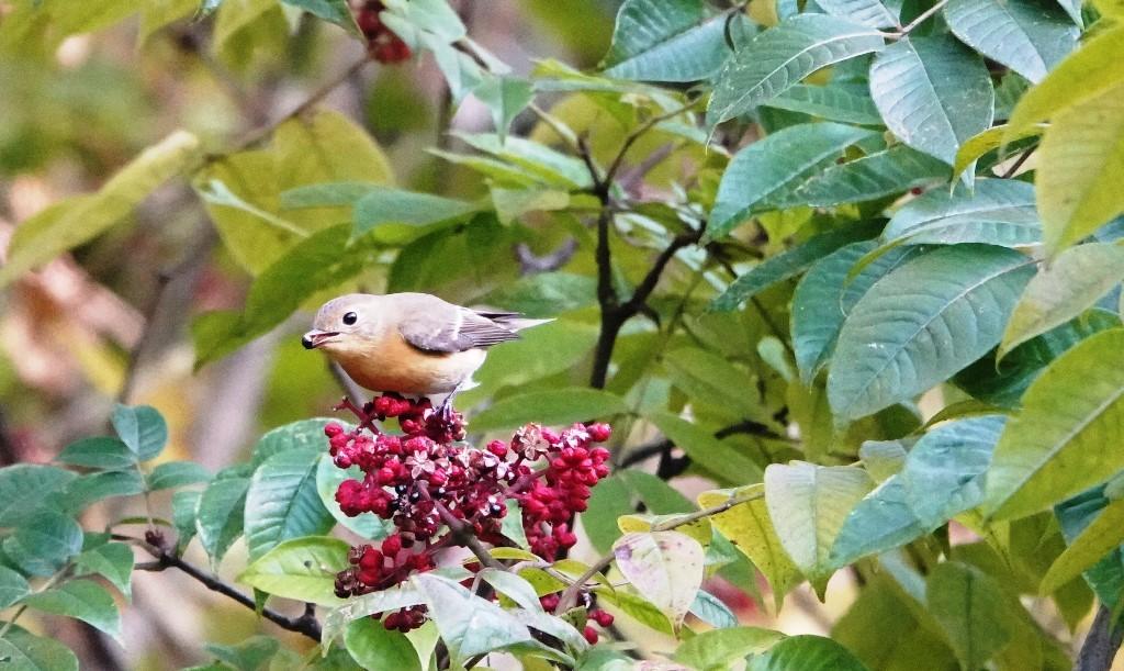 野鳥トレ 228  藍那、森林、藍那三連荘_b0227552_20002677.jpg