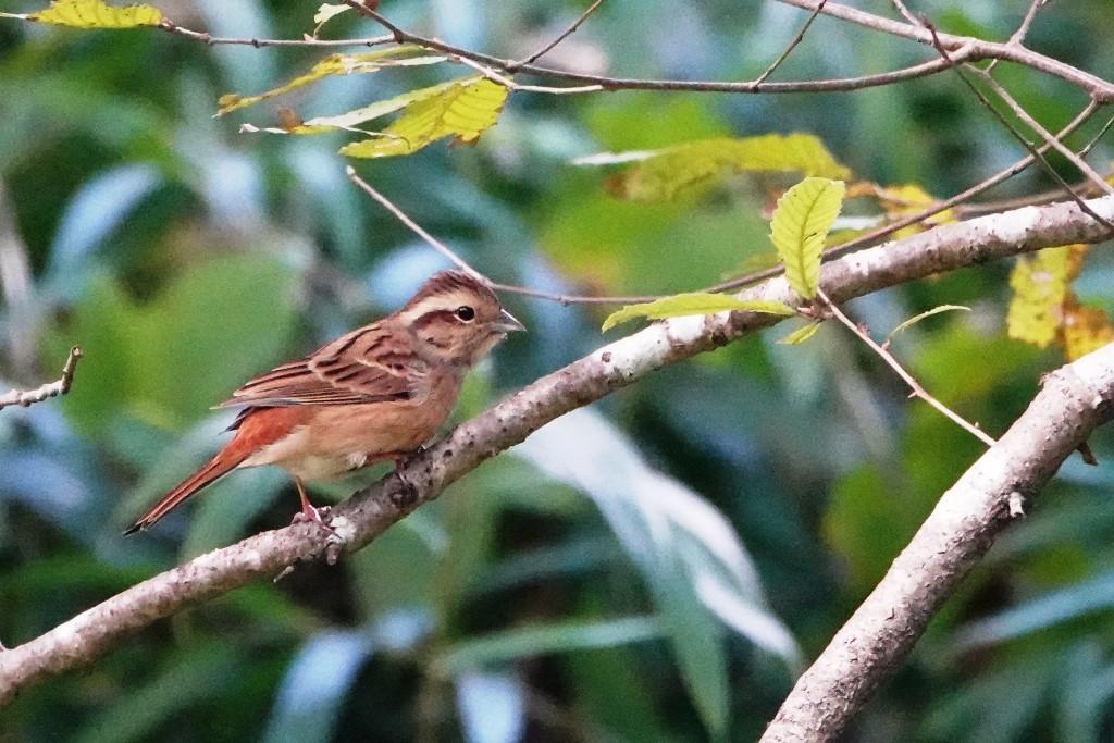 野鳥トレ 228  藍那、森林、藍那三連荘_b0227552_20005061.jpg