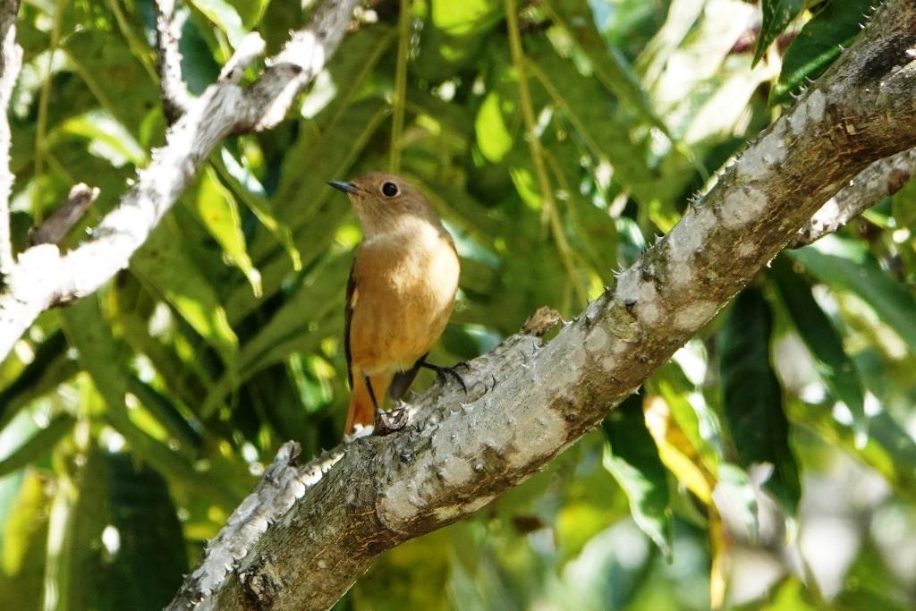 野鳥トレ 228  藍那、森林、藍那三連荘_b0227552_20010238.jpg