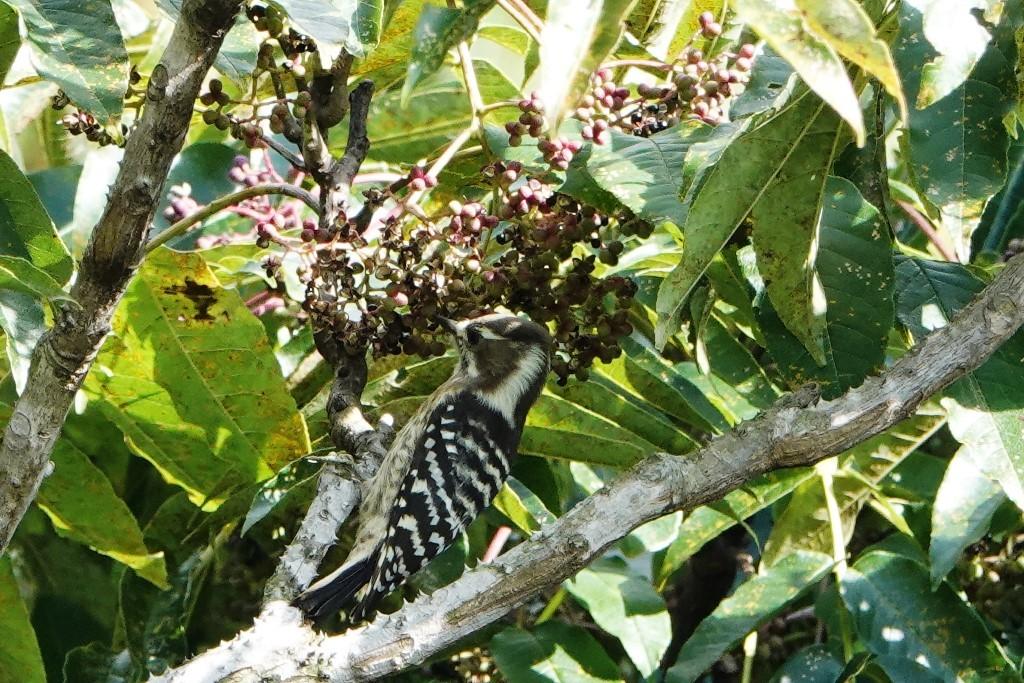 野鳥トレ 228  藍那、森林、藍那三連荘_b0227552_20011576.jpg