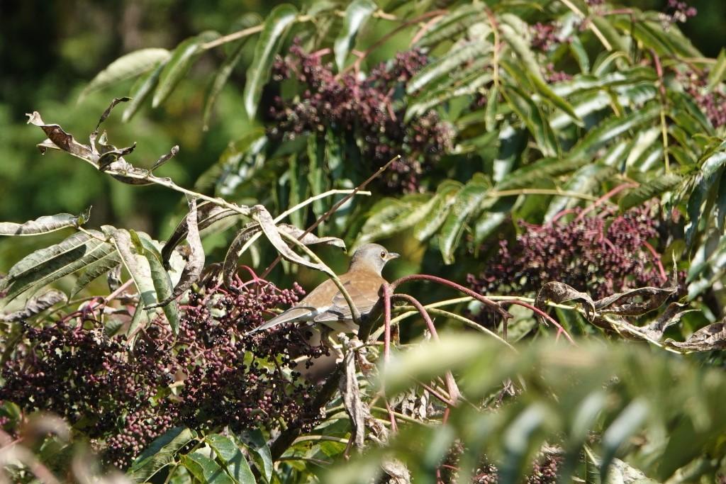 野鳥トレ 228  藍那、森林、藍那三連荘_b0227552_20012620.jpg