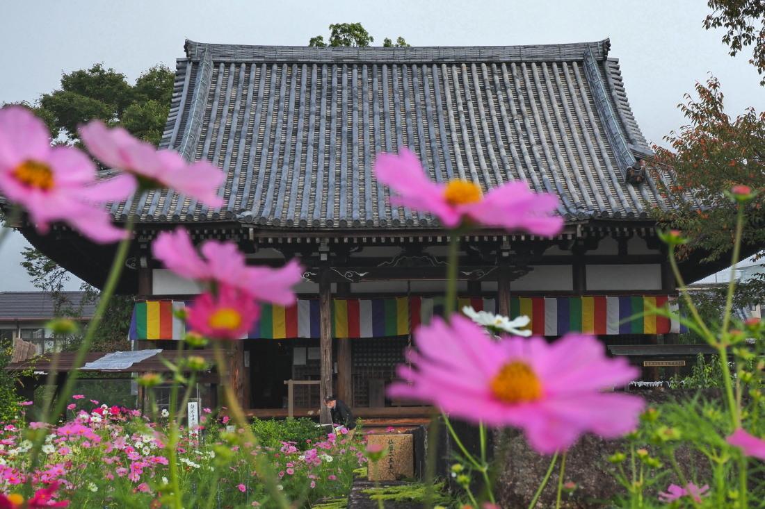 秋桜 4   奈良県_d0286954_04535477.jpg
