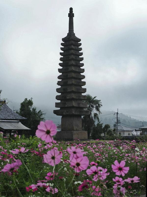 秋桜 4   奈良県_d0286954_04540554.jpg