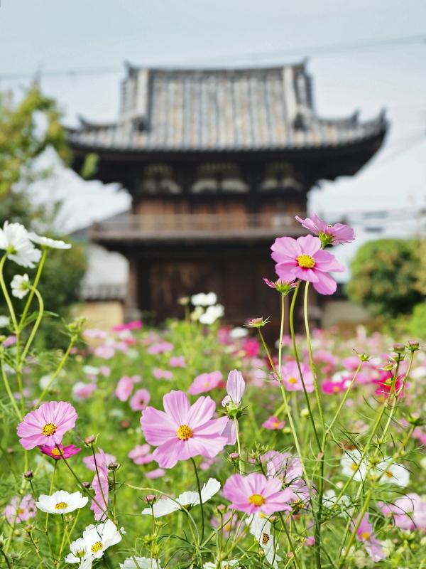 秋桜 4   奈良県_d0286954_04541040.jpg