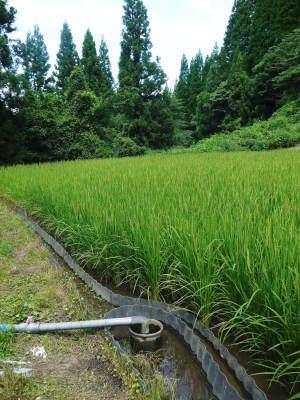 米作りの挑戦(2020) 稲刈りの様子!今年の問題点と来年へむけての課題!(前編)_a0254656_18405025.jpg