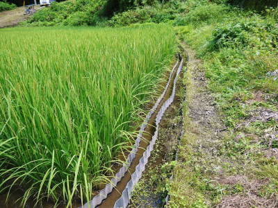 米作りの挑戦(2020) 稲刈りの様子!今年の問題点と来年へむけての課題!(前編)_a0254656_18440171.jpg