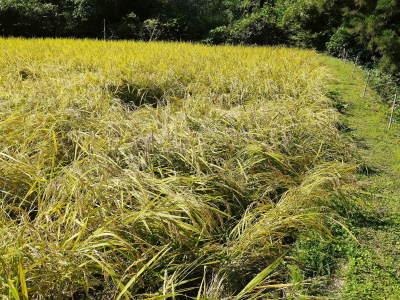 米作りの挑戦(2020) 稲刈りの様子!今年の問題点と来年へむけての課題!(前編)_a0254656_18580801.jpg