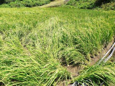 米作りの挑戦(2020) 稲刈りの様子!今年の問題点と来年へむけての課題!(前編)_a0254656_19030955.jpg