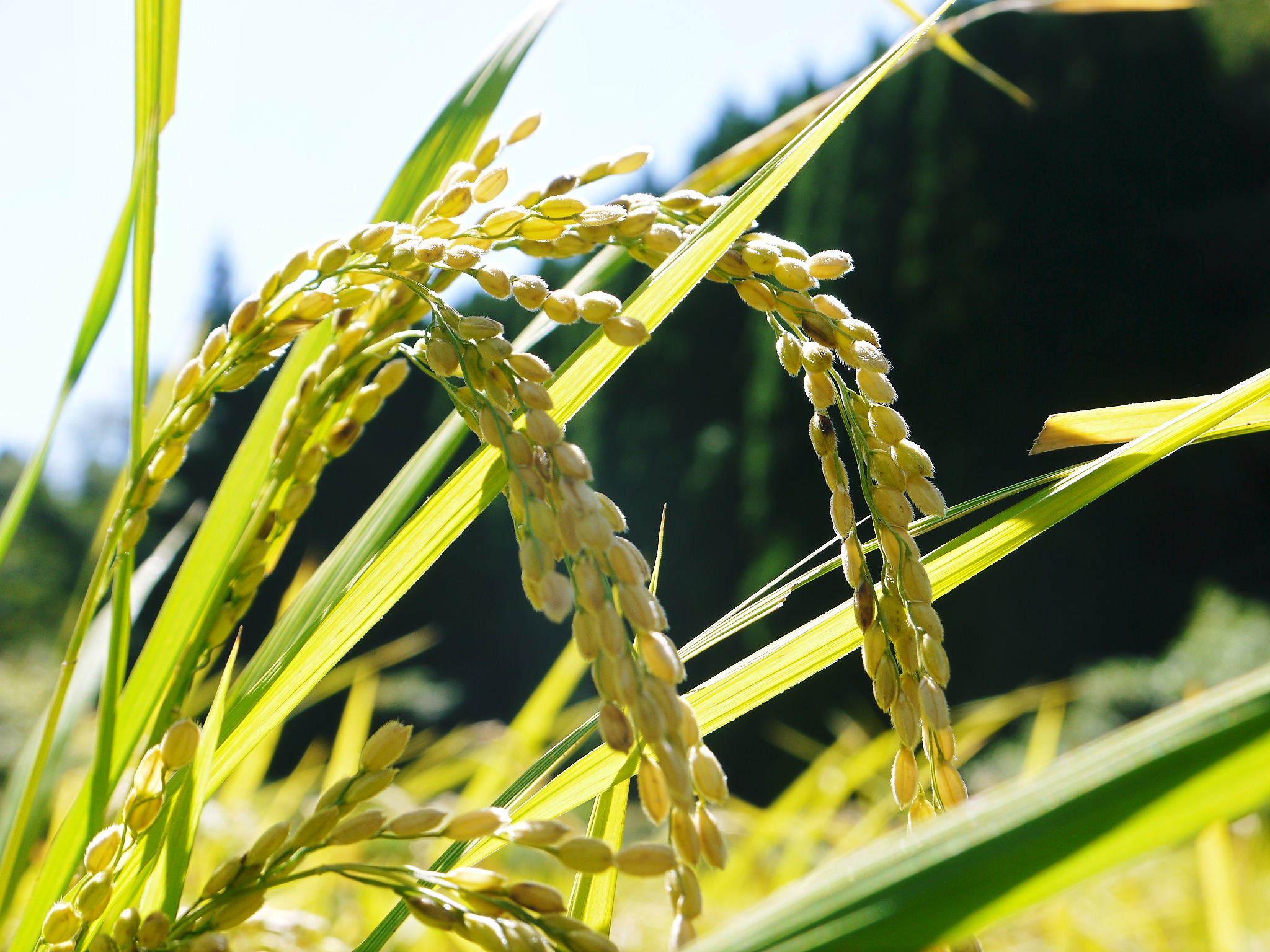 米作りの挑戦(2020) 稲刈りの様子!今年の問題点と来年へむけての課題!(前編)_a0254656_19110901.jpg
